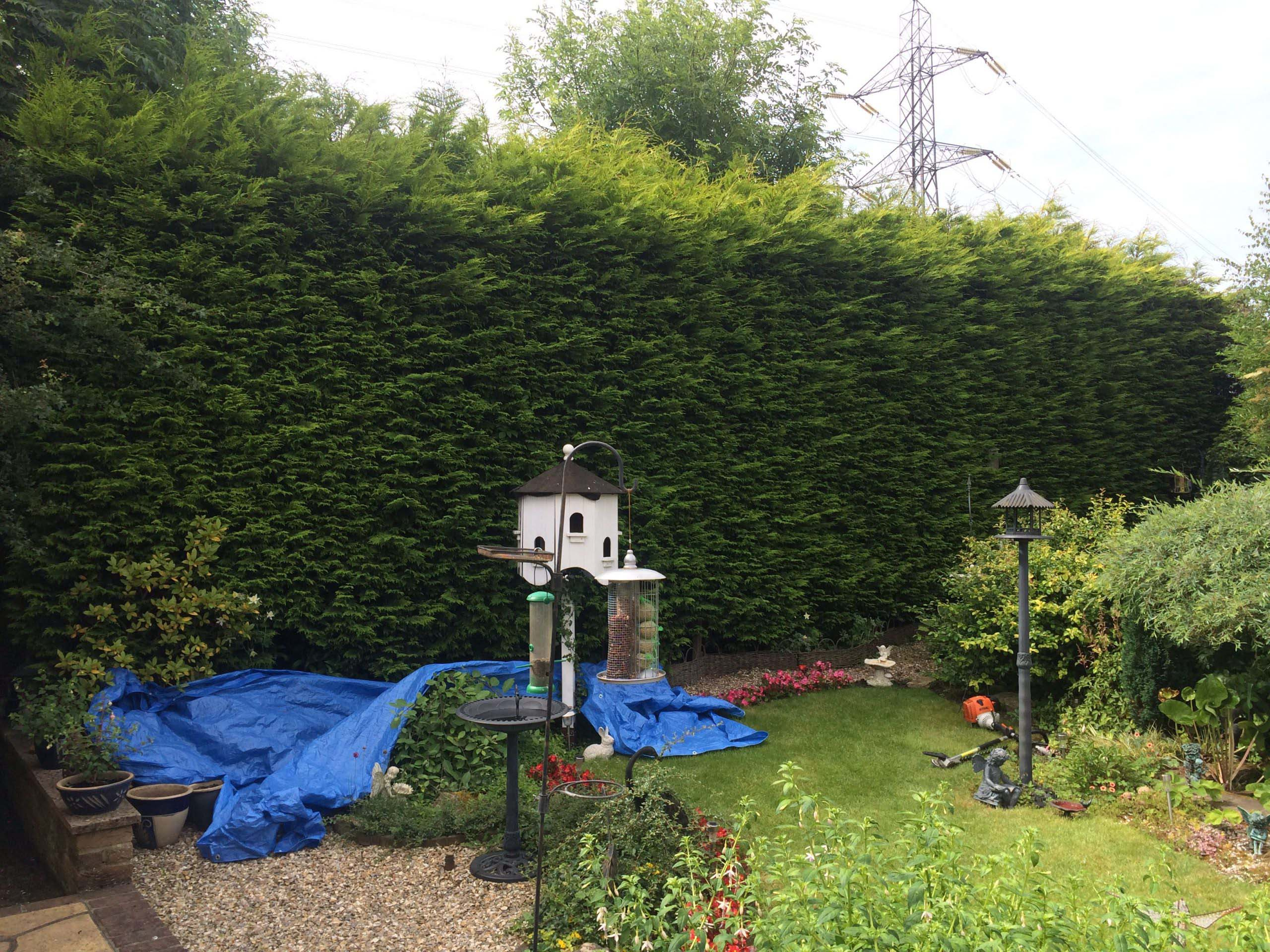 Conifer reduction before