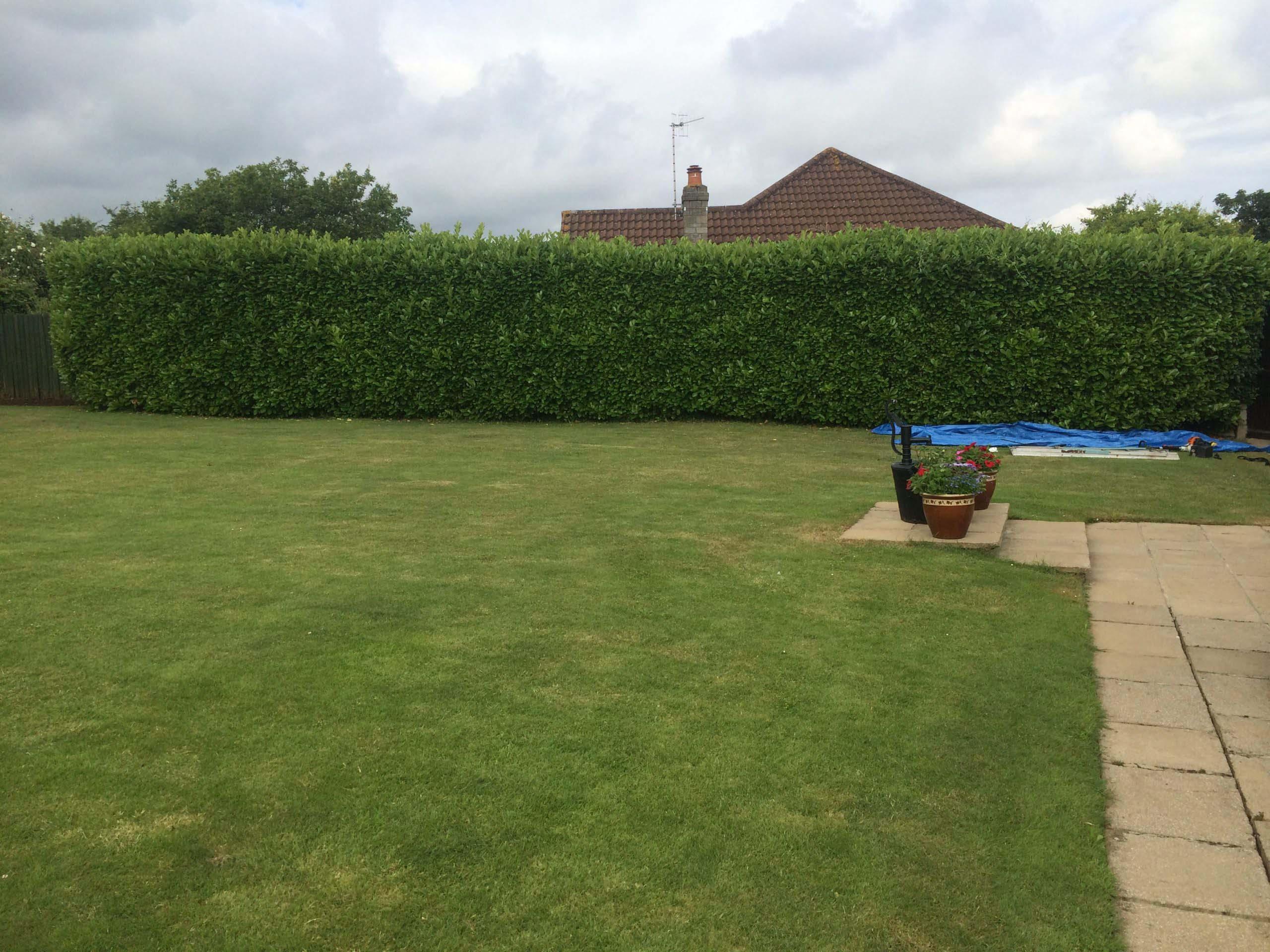 Laurel hedge reduction before